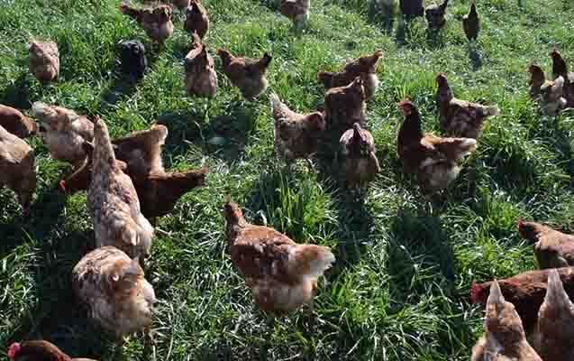 Tavuk Çiftliği Kurmak - Nasıl Kurulur? Maliyeti, Kar Marjı Nedir?